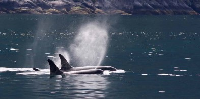 Spend time on deck, on the lookout for Orcas (Killer whales).