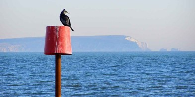 Cormorant in Alum Bay.