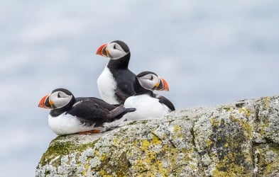 Three puffins on a cliff. Go birdwatching, step across the Arctic Circle and enjoy walks through the coastal landscape of Iceland.