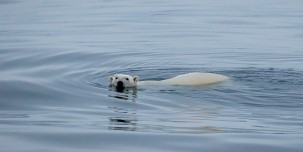 Swimming polar bear near Coutts Island. Throughout the journey, enjoy views of vast expanses of pristine wilderness and wildlife from the deck and up close.