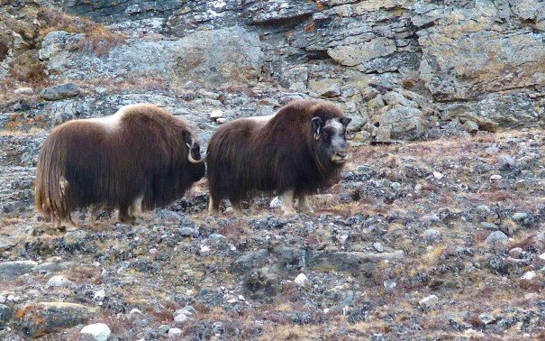 Ivittuut is a stronghold for musk oxen