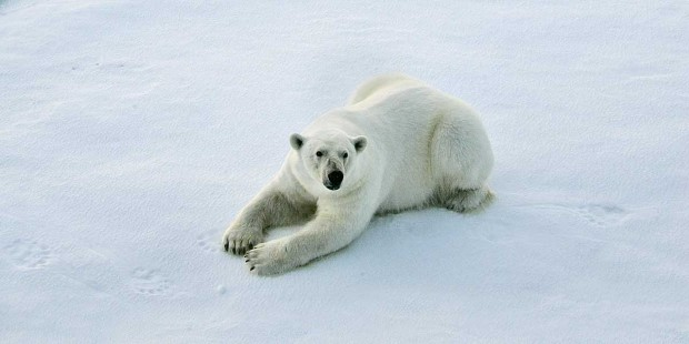 We hope to see some of the great wildlife in Franz Josef Land, like polar bears on the ice floes.