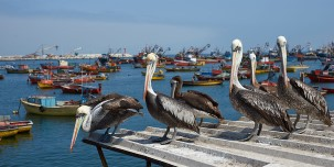 Group of Peruvian pelicans on a roof in Arica.
