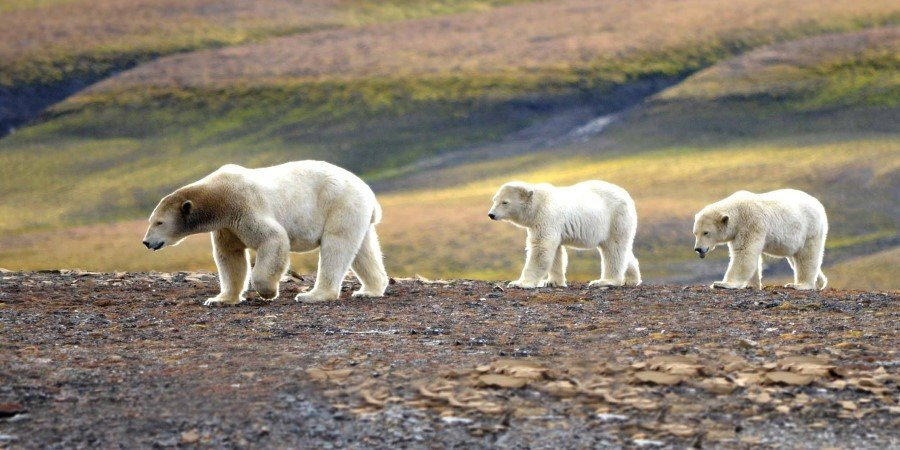 Polar bear family, Svalbard