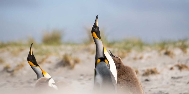 Next up on your expedition cruise itinerary is an exploration of the Falklands' remote areas and rich wildlife, here represented by the King penguins.