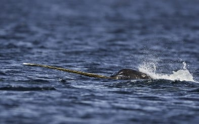 Male narwhal feeding on small bait fish on the surface