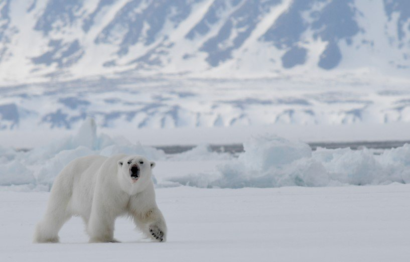 Male Polar Bear walking along floe edge