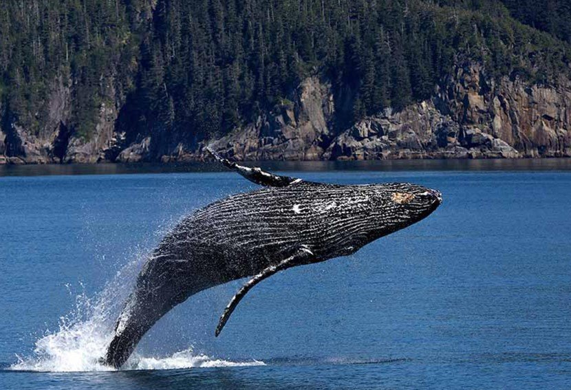 Humpback whale, Prince William Sound Alaska