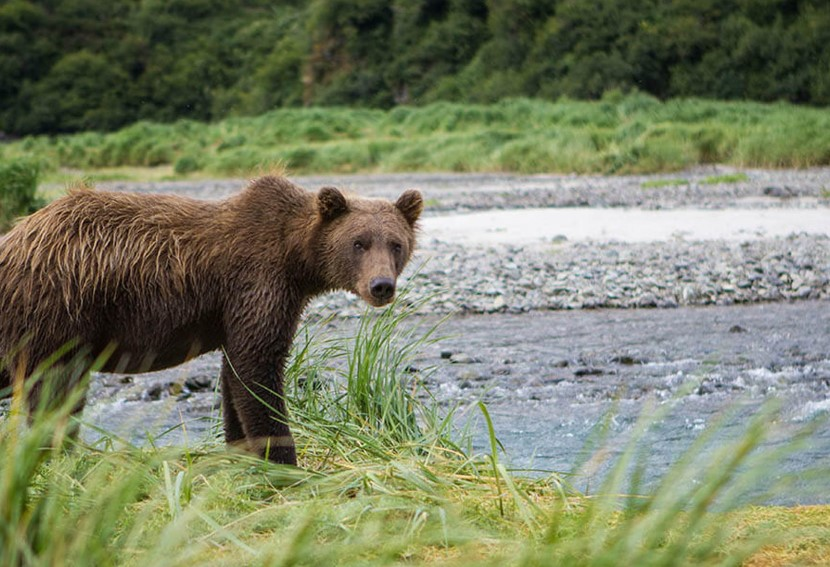 Bear in Geographical Harbour, Alaska