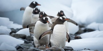 Marching penguins on Cuverville Islands