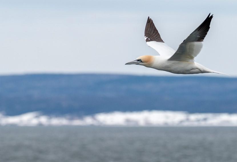 Bird on Bonaventure Island, Canada