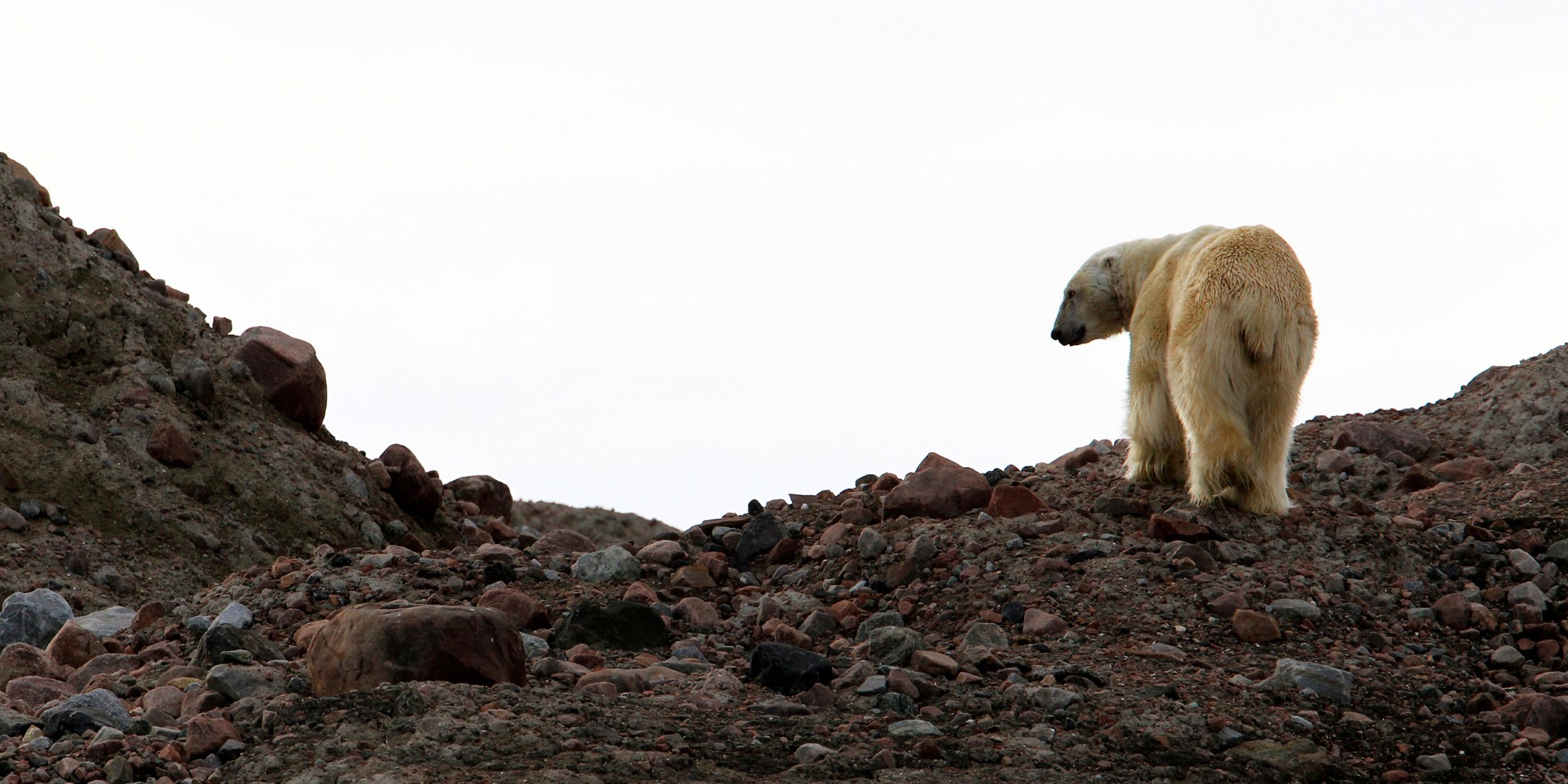 A Polar Bear in Svalbard on a Hurtigruten cruise