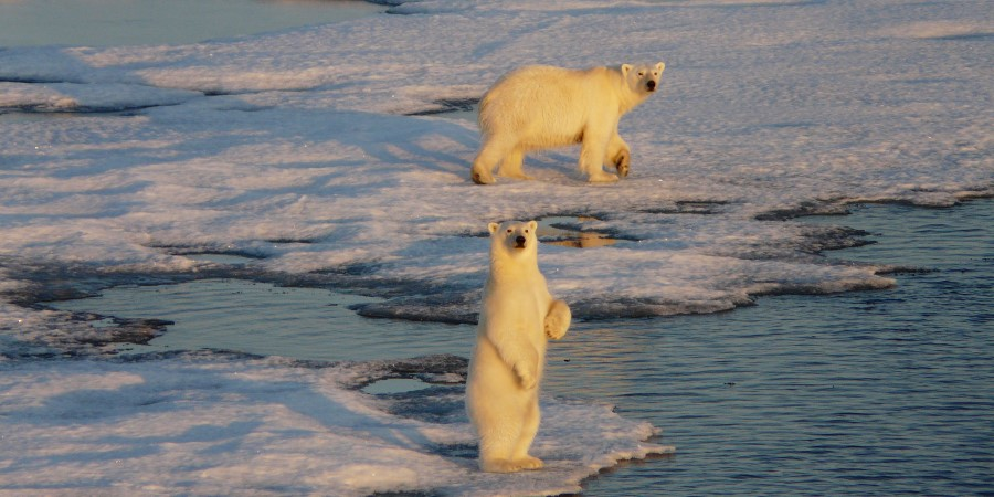 The native Polar Bear in Svalbard