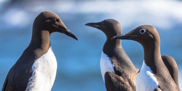 Common_Guillemot_shutterstock_417004927.jpg