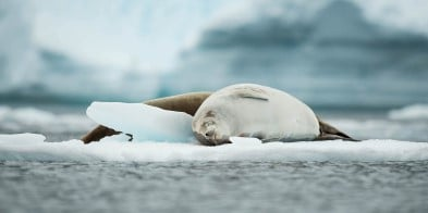 Meet sleepy seals on Cuverville Island, Antarctica. Penguins, seals, whales and large flocks of sea birds give life to this surrealistic and beautiful landscape.