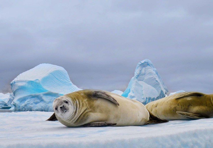 Discover wildlife unique to the Antarctic like the crabeater seal.
