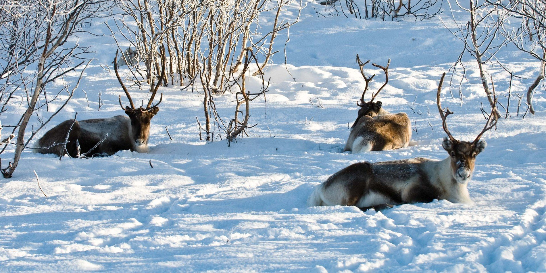 Reindeer is well adapted to live in the Northern hemisphere